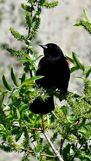 Red winged blackbird at Don Valley Brick Works May 18, 2009