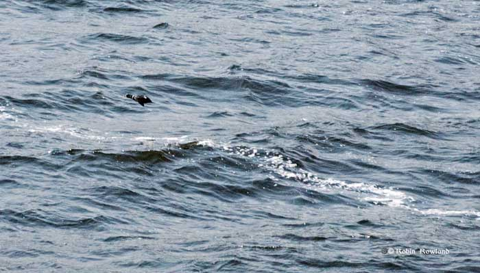 Male harlequin duck on Douglas Channel
