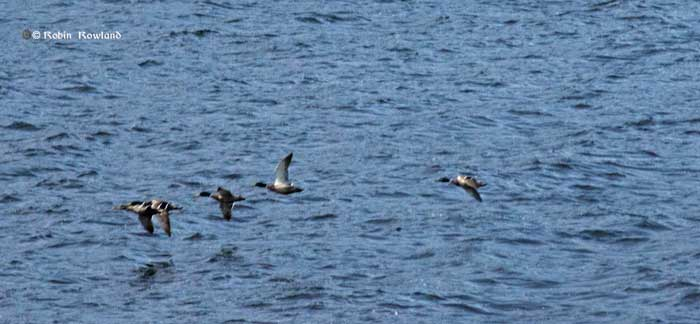 Mallards on Douglas Channel