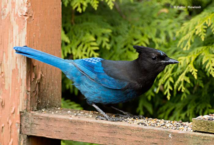 Stellar jay on my deck