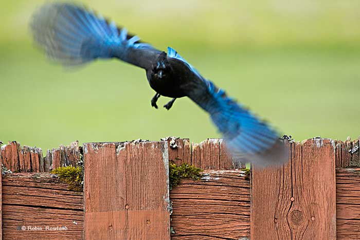 Stellar jay flies to the feeder