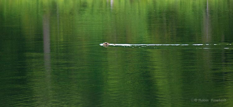 Beaver swims across the lake