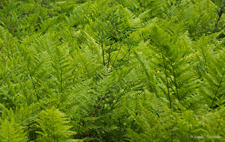 A pattern of ferns