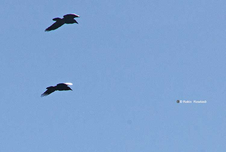 Ravens reflect sunlight