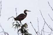 Great blue heron near Kitimat River