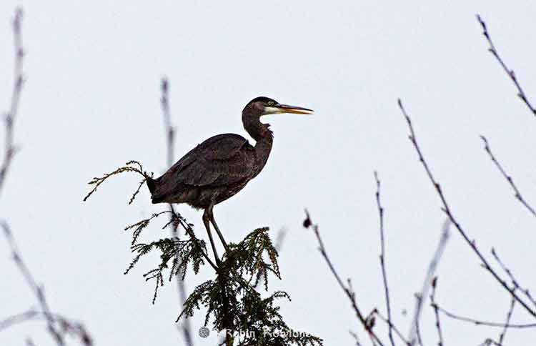 Great blue heron near Kitimat River