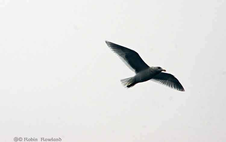 A gull hovers over the Kitimat harbour, Dec. 15, 2012 (Robin Rowland)