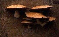 Mushrooms grow on a log, Leslie St. Spit, Tommy Thompson Park, Toronto, Oxt, 2, 2007.  (Robin Rowland)