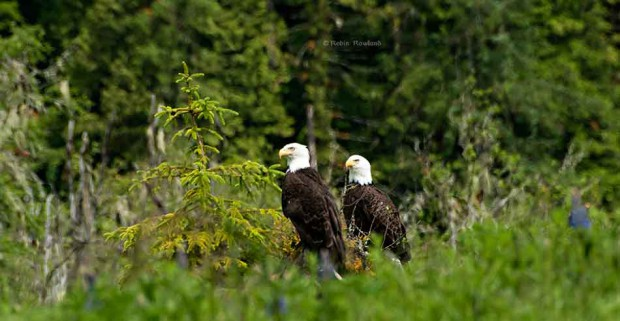 A pair of bald eagles on the shores of the Kildala Arm, Douglas Channel, BC, June 20, 2009. (Robin Rowland)