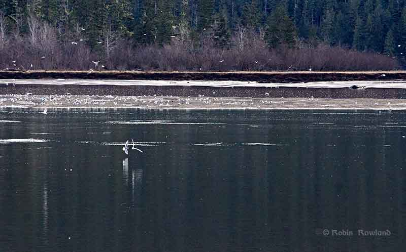 Gulls feed for oolichan on the Skeena