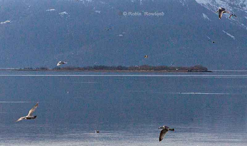 Gulls feed for ollichan on the Skeena