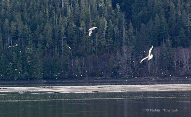 Gulls feed on oolichan on the Skeena