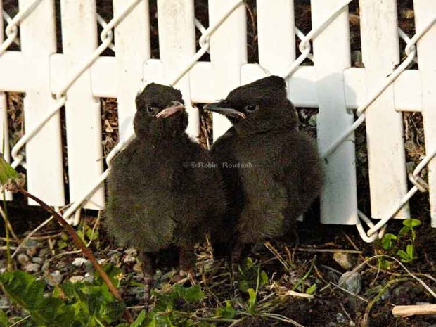 Two stellar jay fledges huddle at a fence,