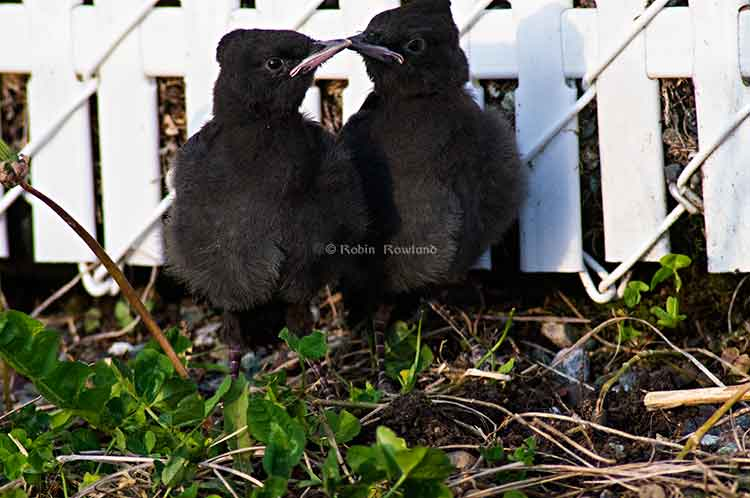 Two stellar jay fledges