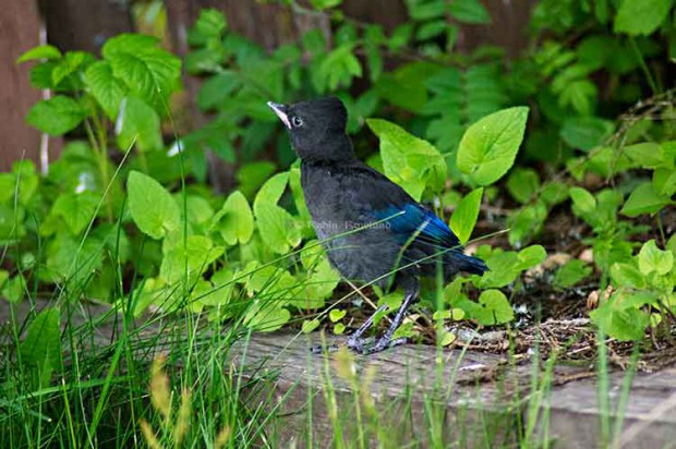 Stellar jay walks toward fence