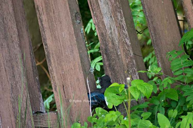 Fledge walk under fence