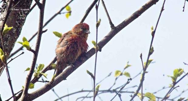 Male pine grosbeak in a tree