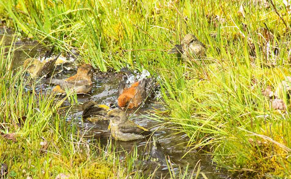 Grosbeak splash in a ditch