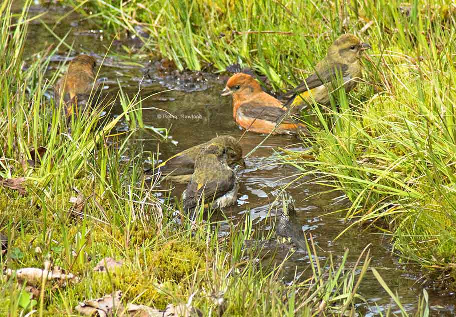 Four pine grosbeak in the ditch