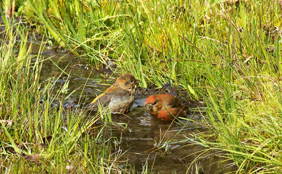 Female and male pine grosbeak in a drainage ditch