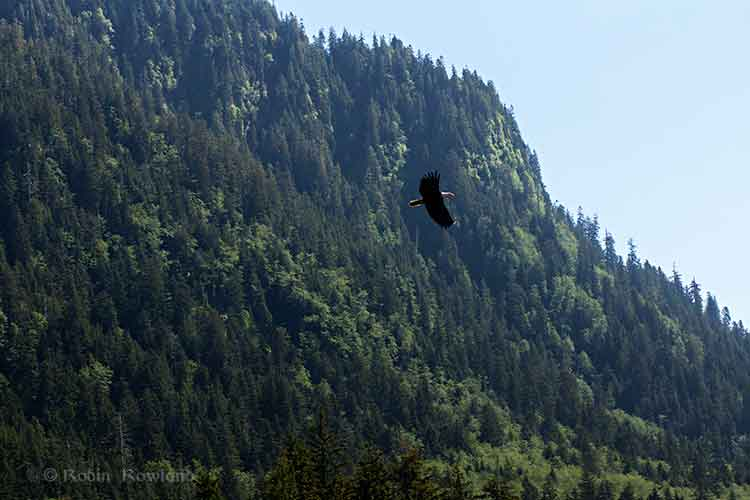 Bald eagle over a mountain