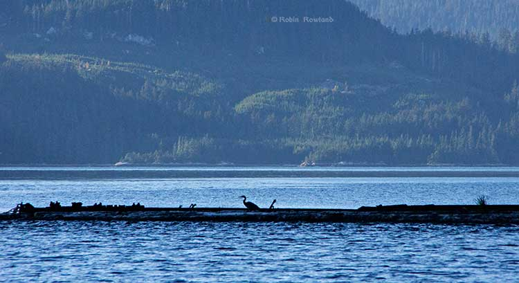 Great blue heron on a log boom at Clio Bay, BC,  (Robin Rowland