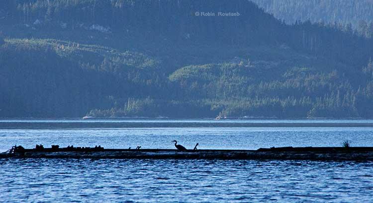 Great blue heron on a log boom at Clio Bay, BC,  (Robin Rowland
