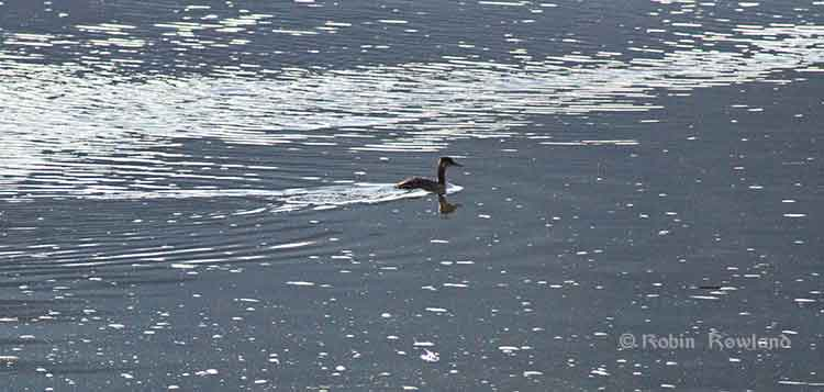 Loon on the Skeena