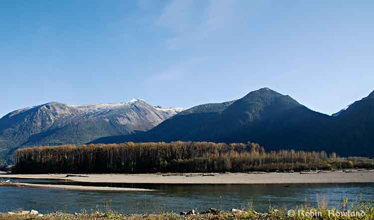Bare cottonwoods on the banks of the Skeena