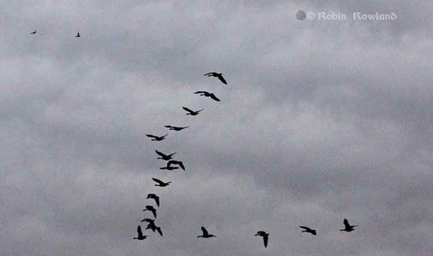 Geese fly over the Remembrance Day ceremony