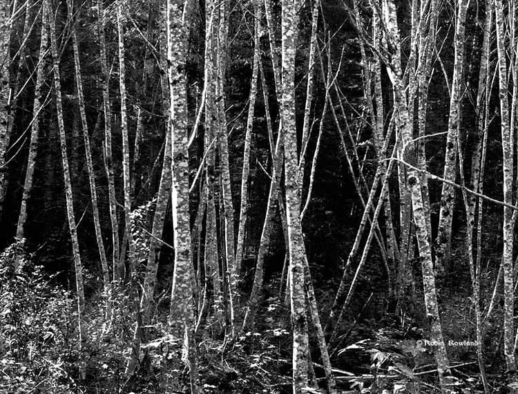 Alders at Pine Creek, black and white