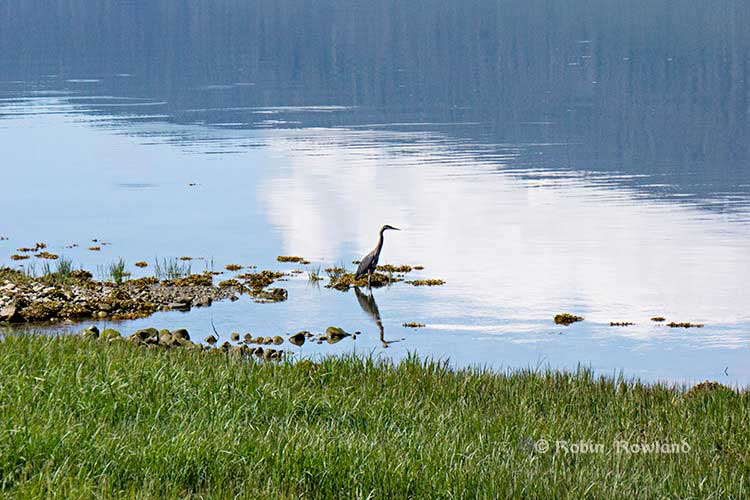 Great Blue Heron at Minette Bay, Kitimat