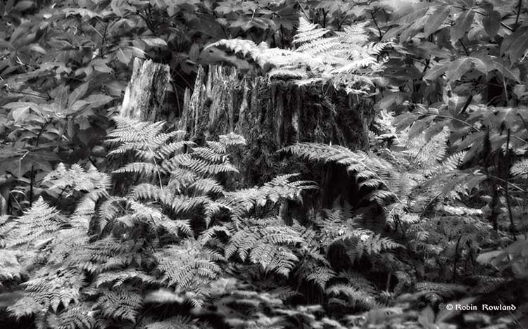 Old cedar stump in black and white