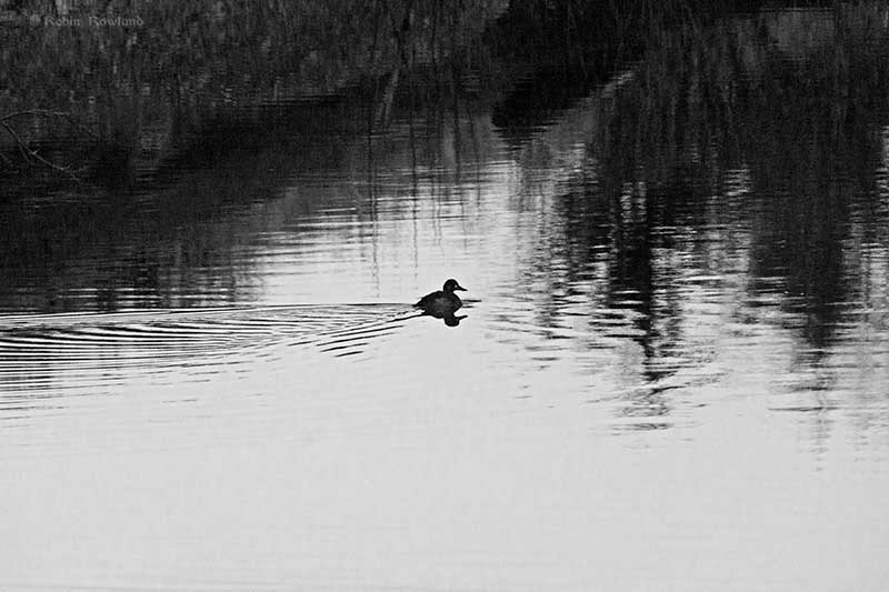 Duck in the estuary