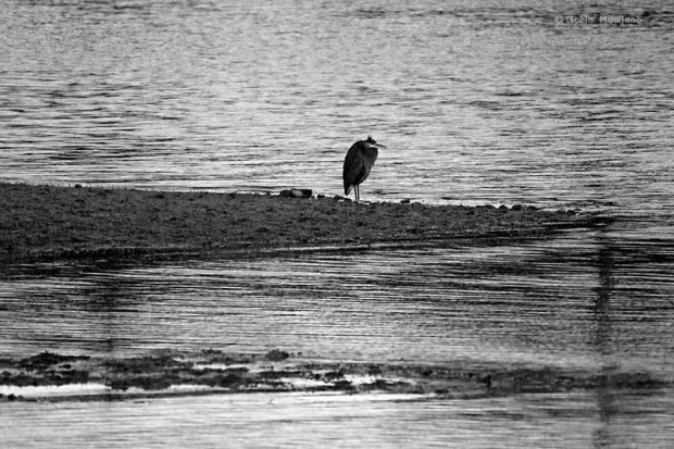 Great blue heron in the Kitimat estuary