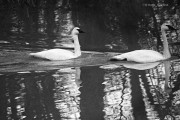 Trumpeter swans in the Kitimat Rver