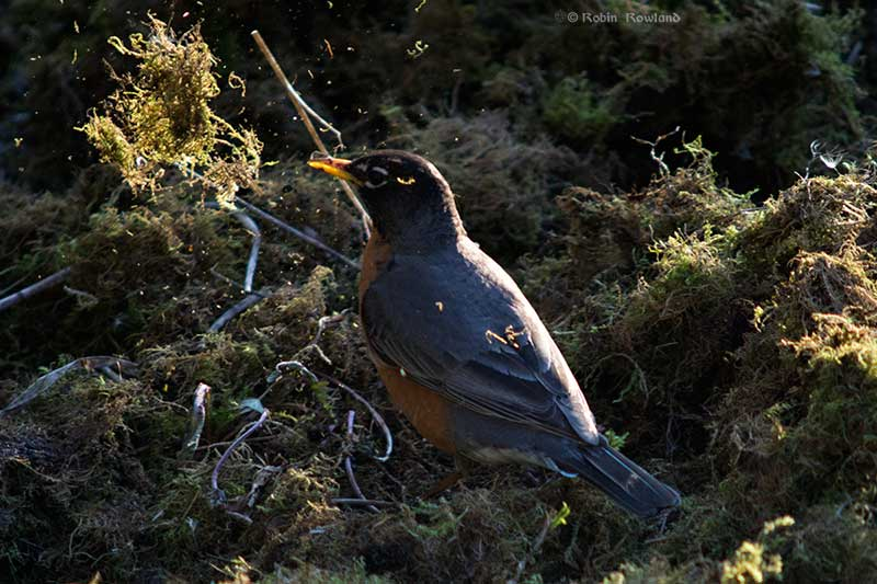A robin hunts for bugs in a pile of moss
