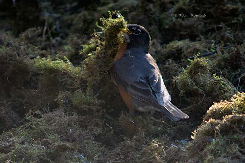 The robin picks up a pile of moss preparing to toss it out of the way of the bugs. (Robin Rowland)