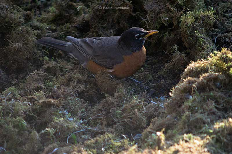 The robin explores the piles of moss that have grown up since winter. (Robin Rowland)