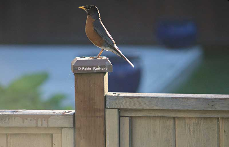 The robin lands on the post, preparing to hunt for his sun set dinner. (Robin Rowland)