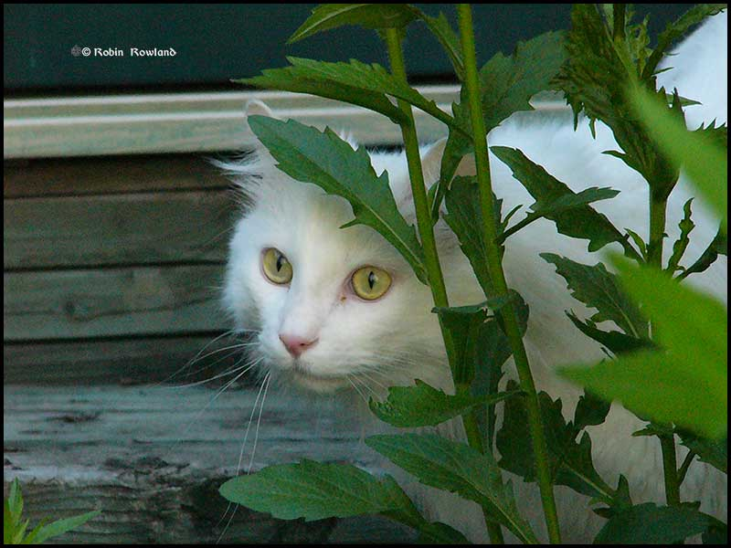 One of my favourite shots of my cat Euri, taken in my backyard in Toronto, May 29, 2004. (Robin Rowland)