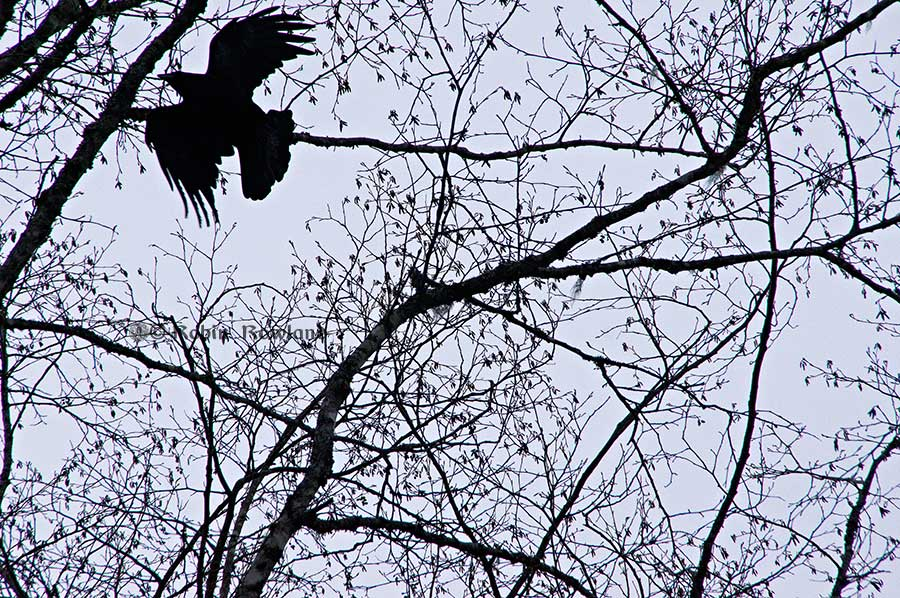 raven2_dec18