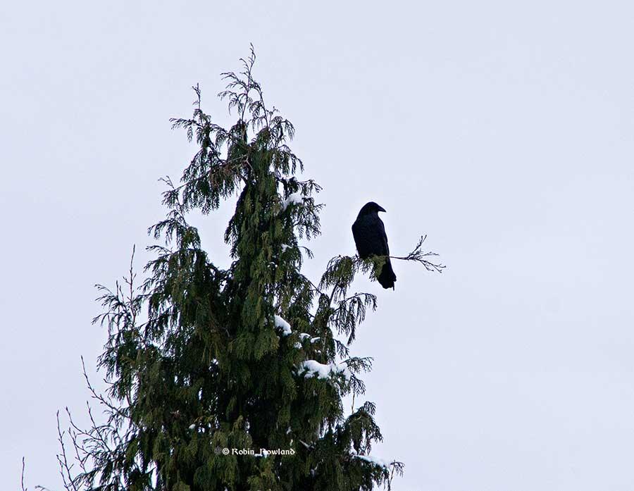 raven3_dec18