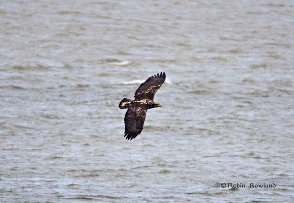 A juvenile bald eagle flies over Kitimat harbour off MK Bay Marina, May 8, 2106. (Robin Rowland)