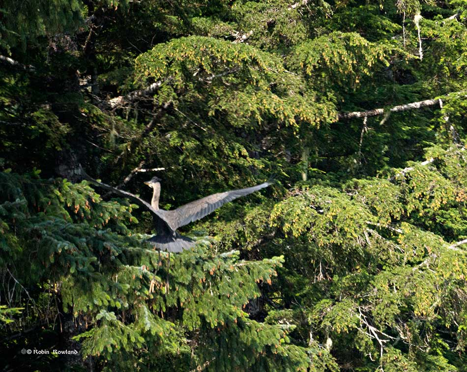 A great blue heron lands on a tree near the Kildala estuary. (Robin Rowland)