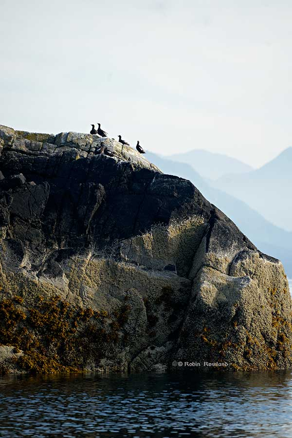 Pigeon Guillemots line the top of Coste Rocks. (Robin Rowland)