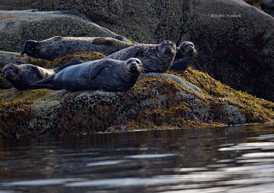Harbour seals regard a passing boat from the edge of Coste Rocks. (Robin Rowland)