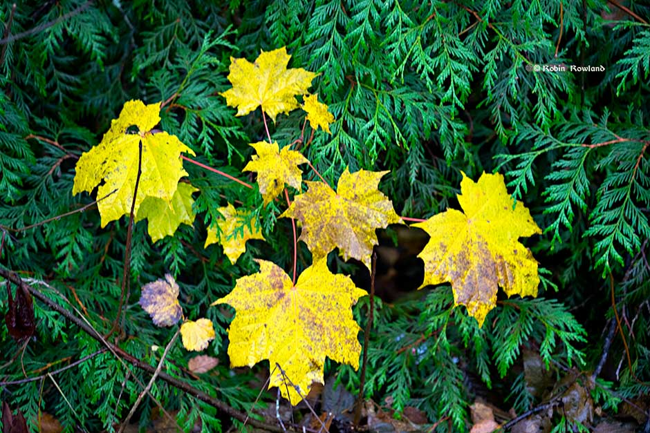 I came across the cluster of maple leaves on my way home from the Remembrance Day service, Nov. 11, 2016 (Robin Rowland)