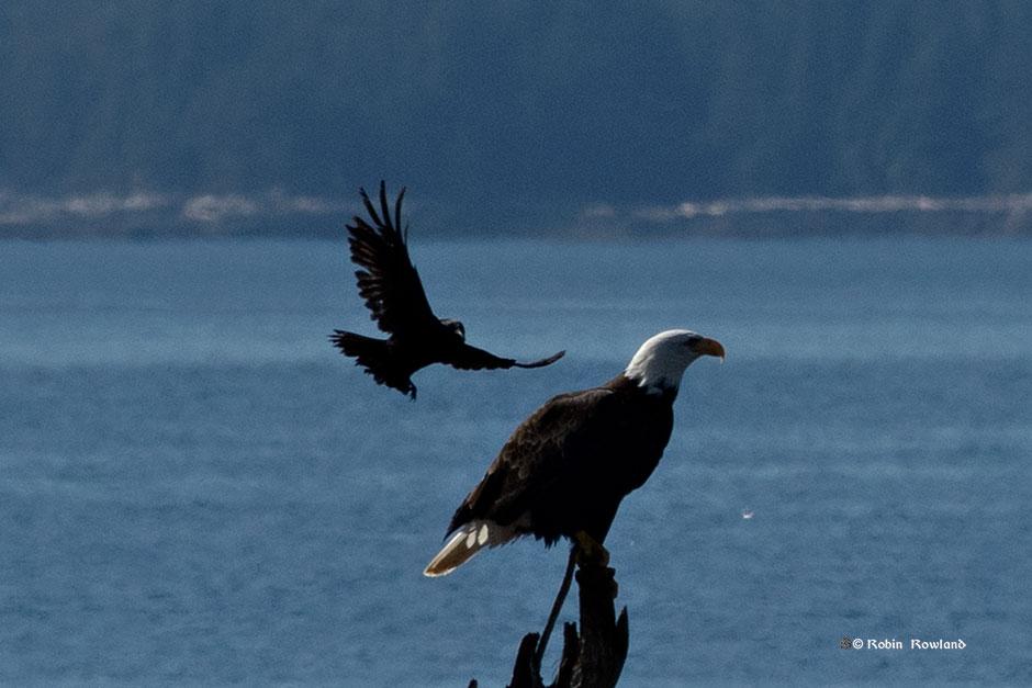 """Get off my perch,""  crow tells bald eagle"