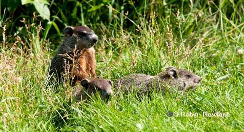 129-groundhog2.jpg